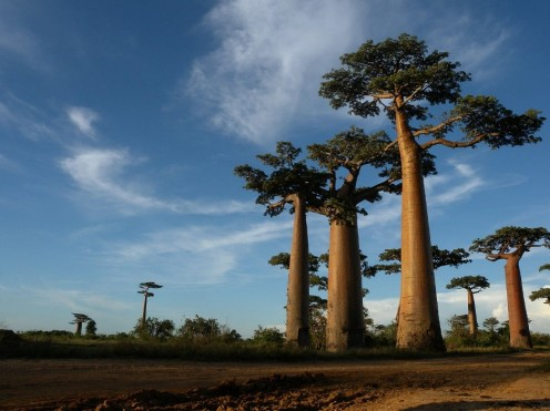 baobab trees off web